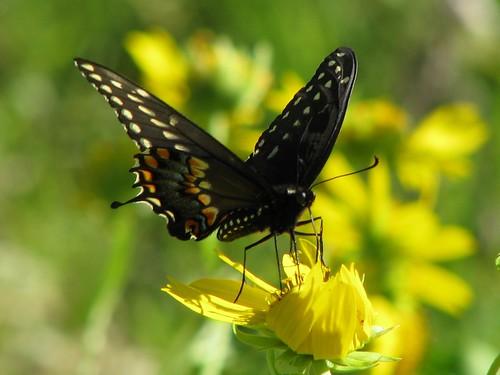 butterfly texas hillcountry swallowtail blackswallowtail papiliopolyxenes balconescanyonlands mlhradio balconescanyonlandsnationalwildlifereserve