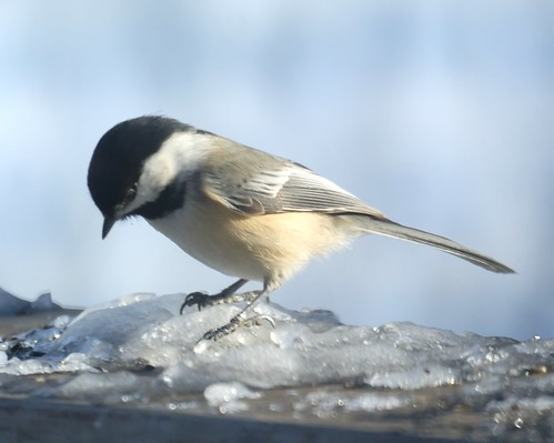 Chickadee | by Mike's Birds