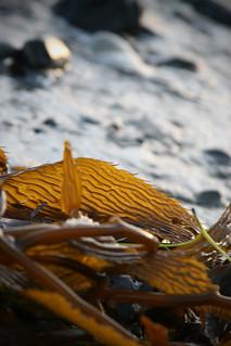 20100225 santa barbara beach kelp   by schnell foto
