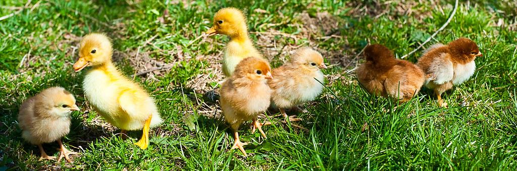Chicks & Ducks