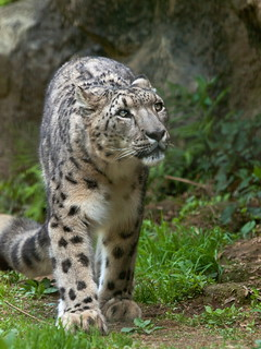 Snow lepard | by suneko