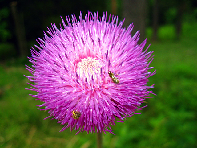 Cirsium sp., Blue Spring Cove, White Co, TN