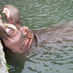 Beppu - 8 Hells - Yama Jigoku 山地獄 - Zoo - Hippopotamus