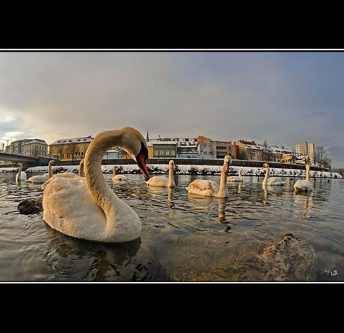 city birds river swan fisheye villach drau nikond300 samyang8mm