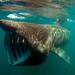 Basking Shark by Wild Journeys