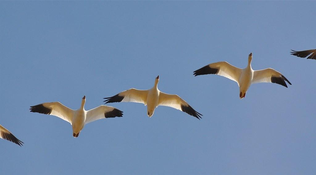 Week 12 - Snow Geese by MissTessmacher