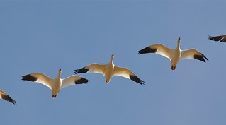 Week 12 - Snow Geese | by MissTessmacher