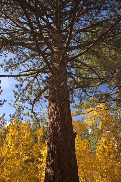 Jeffrey Pine with autumn cottonwoods