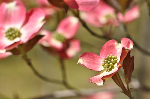 pink brown bokeh dogwood breen 105vr nikond90