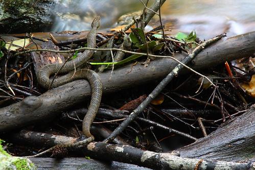 longexposure mountains nature creek nc stream snake northcarolina marion watersnake naturephotography mcdowellcounty tomscreek davidhopkinsphotography