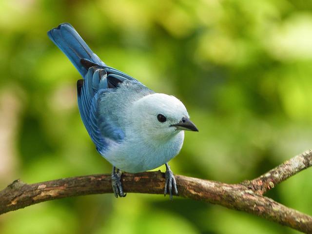 Blue-gray Tanager, Asa Wright Nature Centre, Trinidad