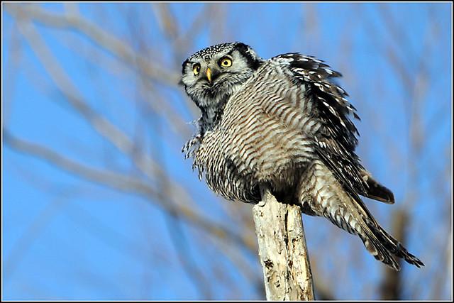 Owl (Northern Hawk) - 0025