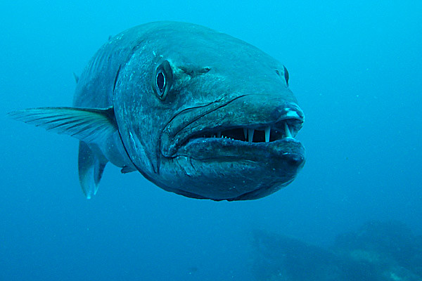 charly barracuda tulamben bali