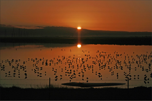 city birds sunrise harbor day clear 100views redwood slough marshland westpoint marshes avocets 0261