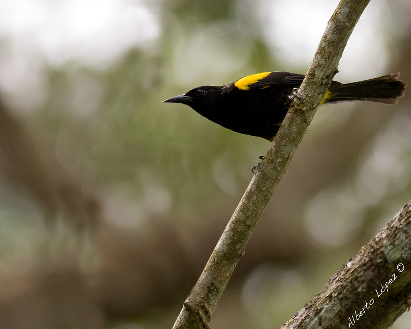 Puerto Rican Oriole (Icterus portoricensis)