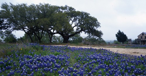 film mediumformat geotagged texas bluebonnet wildflower filmscan texaswildflowers mamiya7ii geo:lat=3031954 geo:lon=96344336 lupinustexsenis