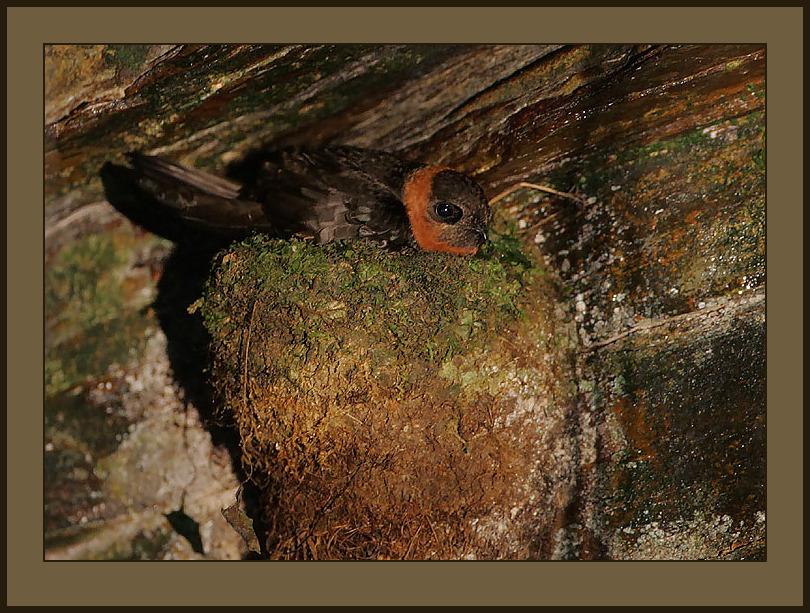 Imagen de una de las aves del Quindio: Vencejo cuellirojo (Cypseloides rutilus)