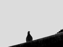 Waiting Pigeon