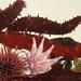 Flickr photo 'California Sea Cucumber - Parastichopus californicus' by: MT Lynette.