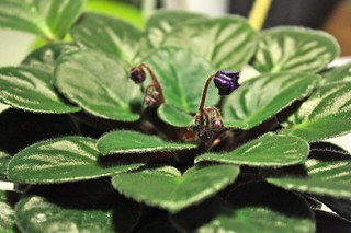 New African Violet Flowers | by joeysplanting