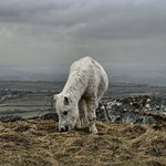 Welsh Mountain Pony on a stormy day