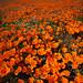 California Poppies: Antelope Valley