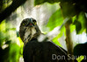 Philippine Hawk Eagle - Nisaetus philippensis by Don Sausa