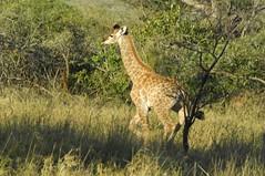 Young giraffe running after its mum