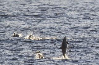Common Dolphin (Delphinus)   by bbum