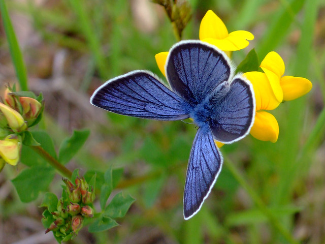 Silvery Blue Butterfly- Now listed as endangered...