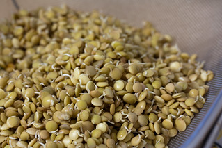 Sprouted Lentils | by Veganbaking.net