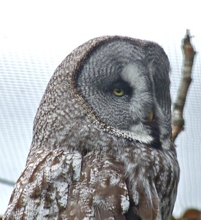 Great Grey Owl | by P. Stubbs photo