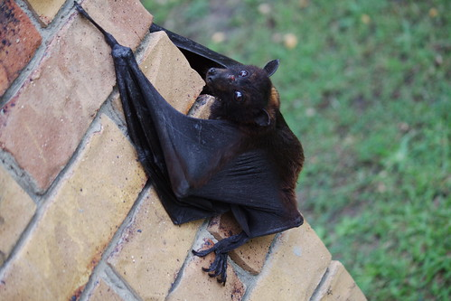 2010-10-12 16-58-47 - IMG_2358 An odd daytime-visitor - a Black Flying Fox