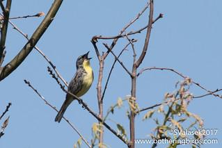 Kirtland's Warbler | by Bothering Birds