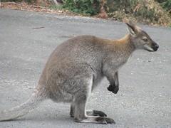 Notamacropus rufogriseus rufogriseus (Bennett's Wallaby)