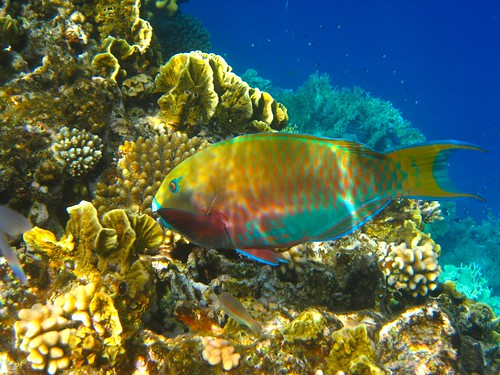 Parrotfish | by Dave McDowell