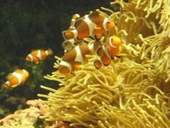 Sun, 2010-05-02 13:31 - カクレクマノミ Ocellaris clownfish