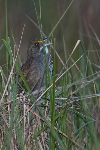 birds animals unitedstates maryland sparrows animalia buntings vertebrates emberizidae seasidesparrow ammodramusmaritimus marionstation seedeatersandallies
