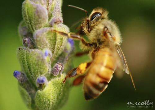 Bee Macro | by Michael Scott | scottphotographics.com
