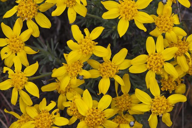 Oregon Sunshine, Eriophyllum lanatum