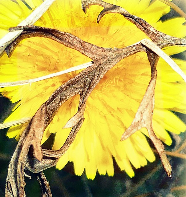 Löwenzahn - Taraxacum- Dandelion - Blowballs - Pusteblume