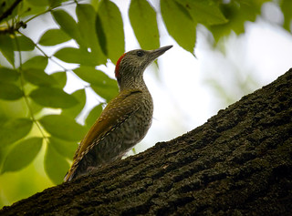 Green woodpecker | by hedera.baltica