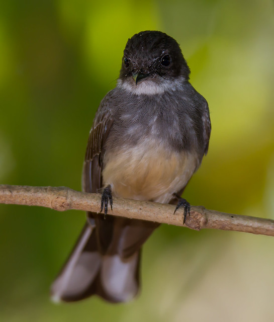 Norm's Gallery - Northern Fantail (Rhipidura rufiventris).02