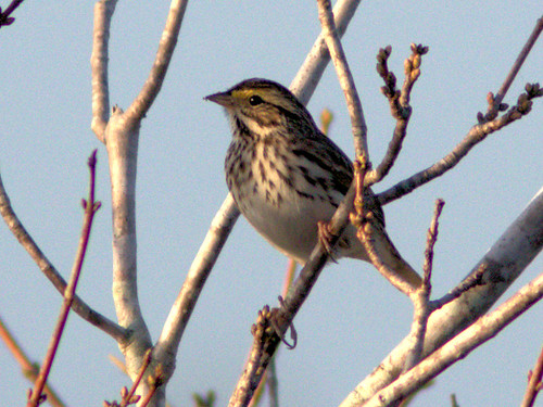 Savannah Sparrow 02-20170101