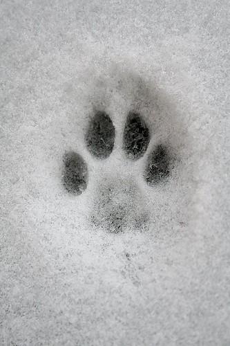 Vicious snow leopard paw print | Mark Riddick | Flickr