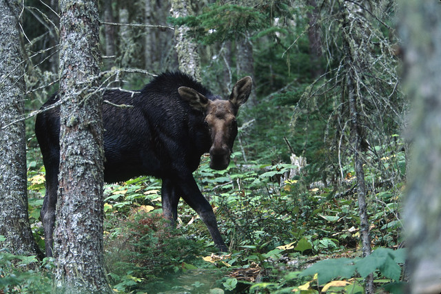 Moose in forest of Isle Royale