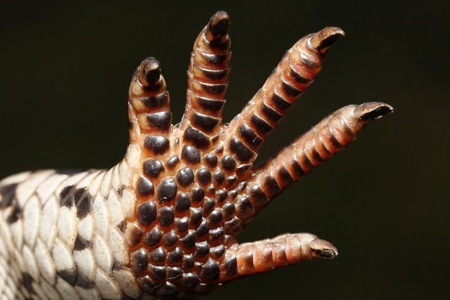 Underside of a hind foot of a Blotched or Southern Blue Tongue Lizard (Tiliqua nigrolutea), north Foster, South Gippsland, Victoria, Australia.