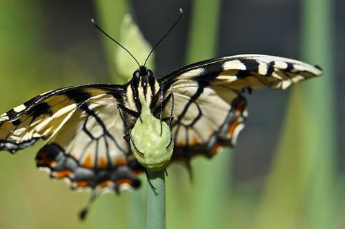 blue black yellow butterfly bokeh handheld easterntigerswallowtail grren papilioglaucus sooc nikond90