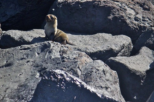 Galápagos  Fur Seal (Arctocephalus galapagoensis) on Rock | by bbum