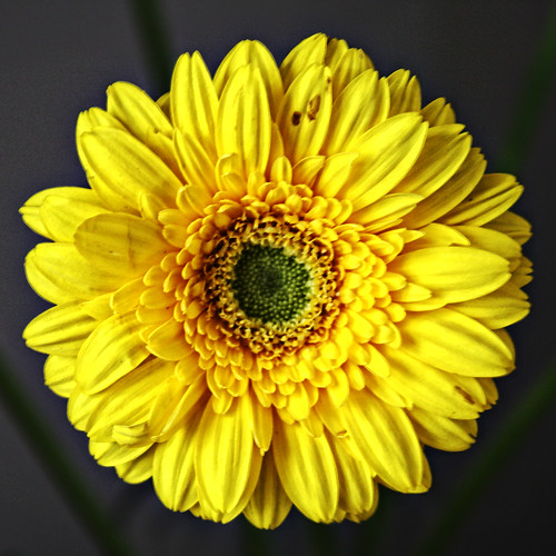 Yellow Gerbera | by Hexagoneye Photography